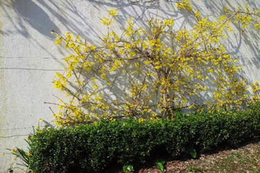 wall pruned forsythia